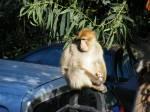 Gibraltar - Affe mit Waffel